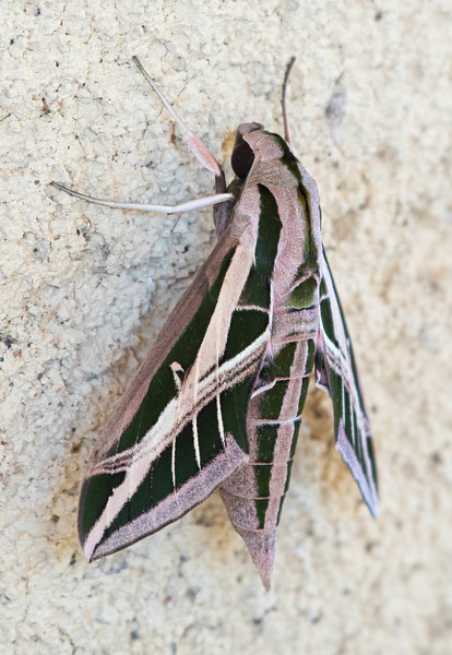 Banded Sphinx Moth