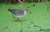 Purple Gallinule (Immature)