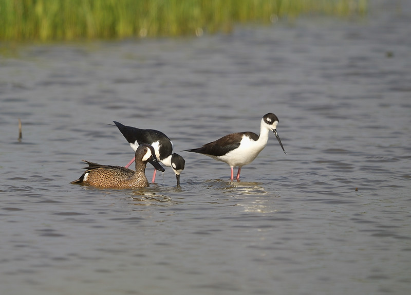 Blue Winged Teal and 2 Black-necked Stilts