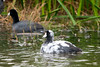 American Coot (Pied Plumage)