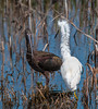 Snowy Egret confronting a White-faced Ibis