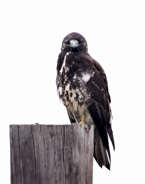 White-tailed Hawk (Immature)