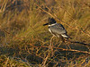 Belted Kingfisher (Male)
