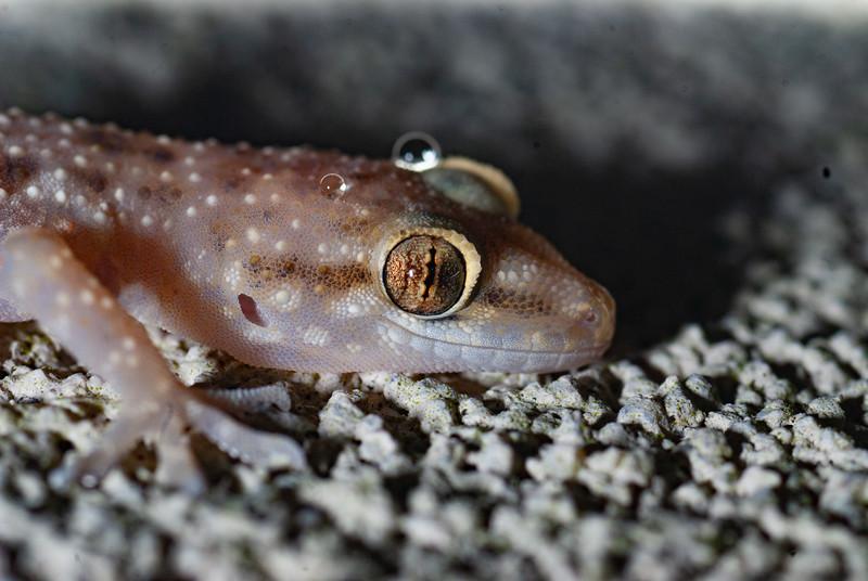 Mediteranean Gecko