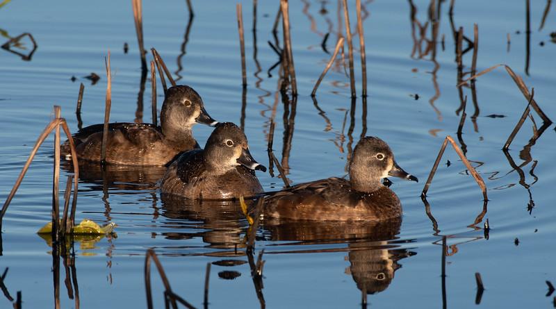 Ring-necked Ducks, (Females)