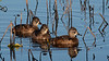 Ring-necked Ducks, (Females)
