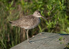 Willet (Breeding Plumage)