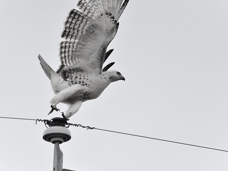 Red-tailed Hawk (Krider's Phase)