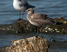 Laughing Gull (Immature)