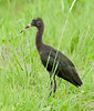 White-faced Ibis (Fledgling)