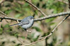 Blue Gray Gnatcather