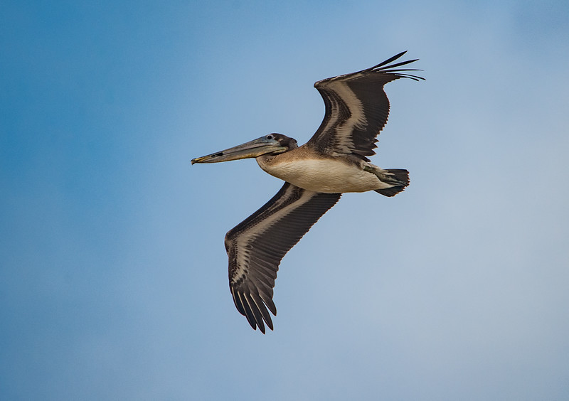 Brown Pelican (Immature)