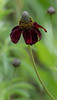 Red-clasping Coneflower