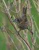 Seaside Sparrow (Immature)