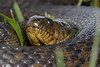 Mississippi Green Watersnake