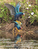 Purple Gallinules Mating