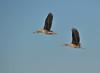 Black-bellied Whistling Ducks (Immature)