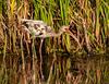 White Ibis (Immature)