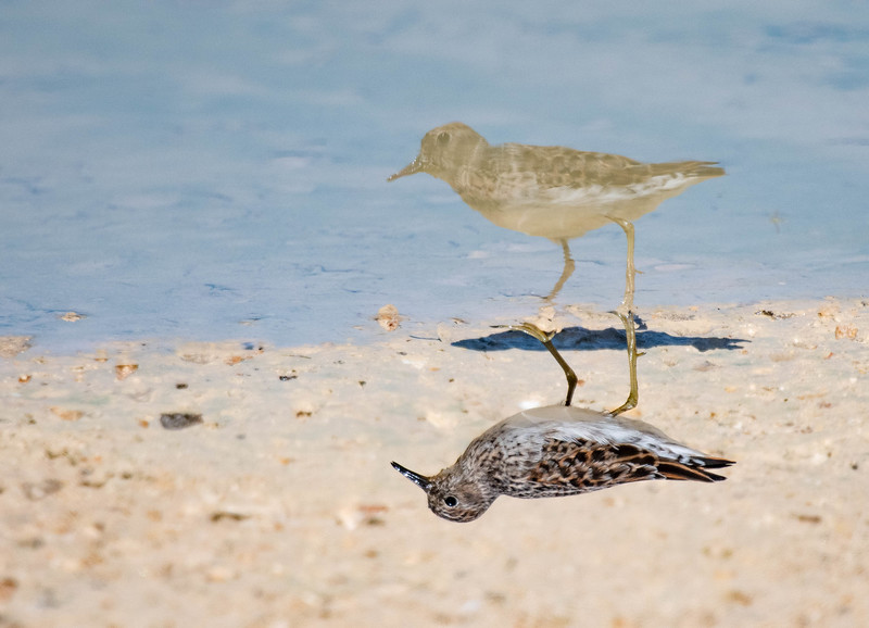 Least Sandpiper Reflection
