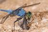 Eastern Pondhawk (Male) eating a moth