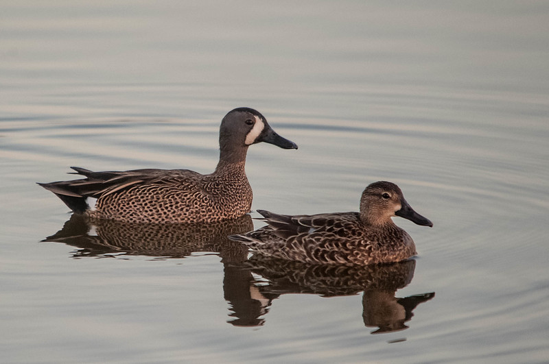 Blue-winged Teals (Male & Female)