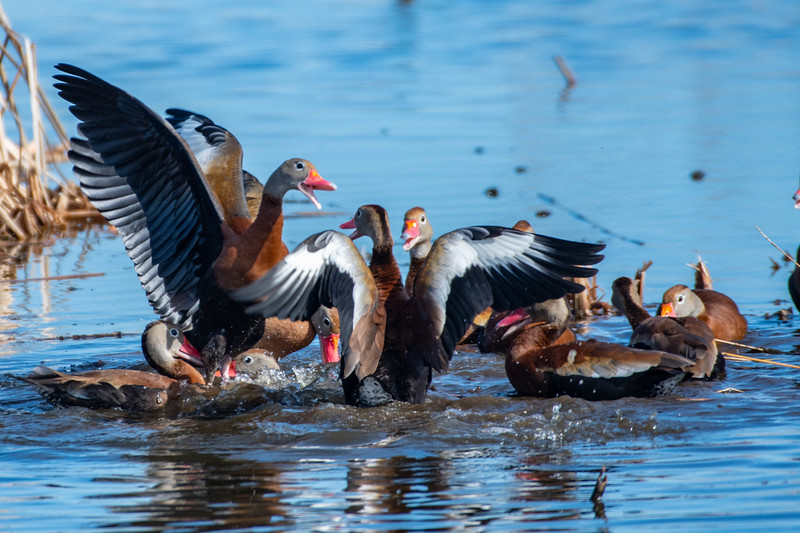 Black-bellied Whistling Ducks in a Confrontation