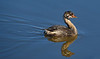 Pied-billed Grebe (Immature)