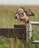 Swainson's Hawk (Immature)