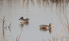Northern Shovelers (Males)
