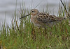 Short-billed Dowitcher (Breeding Plumage)