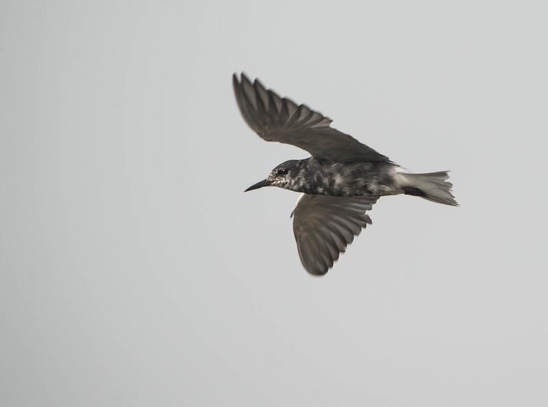 Black Tern (Transitional Plumage)