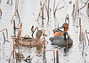 Blue-winged Teal, American Coot & Cinnamon Teal