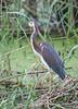 Tricolored Heron (Immature)