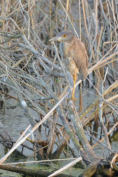 Yellow-crowned Night Heron (Immature)