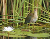 Purple Gallinule (Immature)