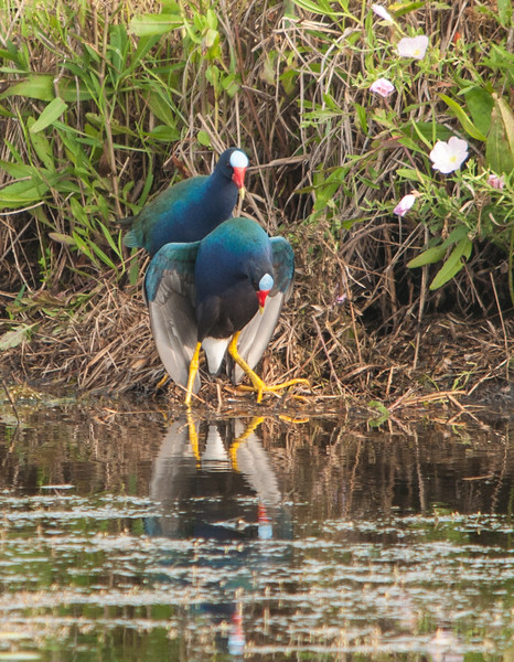 Purple Gallinule Mating