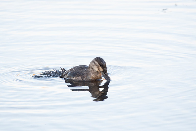 Ruddy Duck Diving