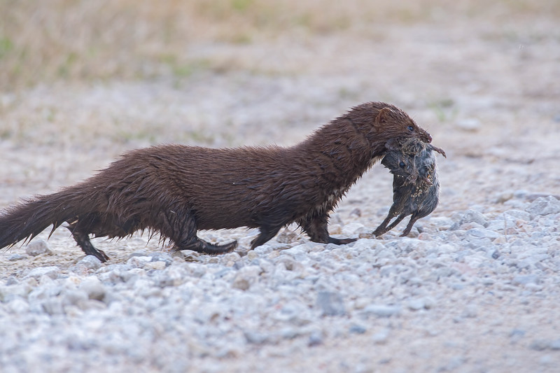 American Mink with a captured Rat