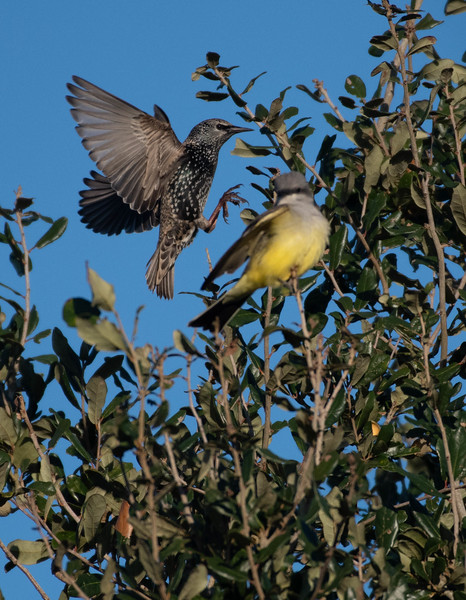 Western Kingbird being photo-bombed by a European Starling