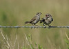 Seaside Sparrow (Adult on left)  Brown-headed Cowbird (Immature on right)