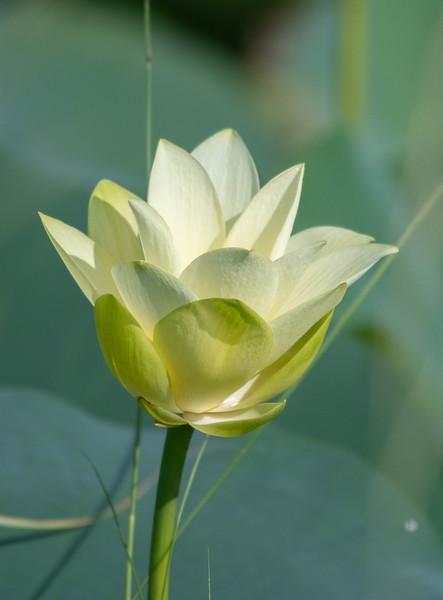 Yellow-lotus Blossom