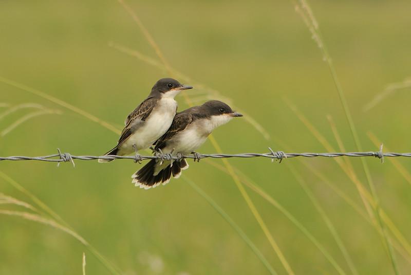 Eastern Kingbirds