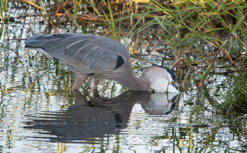 Great Blue Heron resting during a failed attempt to swallow a large Mullet.