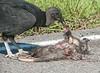 Black Vulture eating a road-kill Opossum