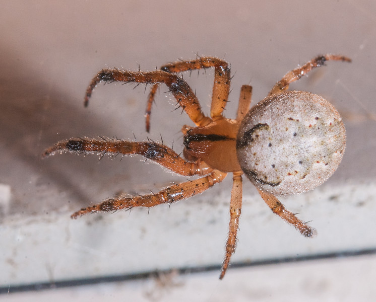 Spider (Unknown Species)