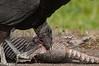 Black Vulture eating Roadkill Armadillo