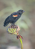 Red-winged Blackbird on Lotus Flower Seed Pod