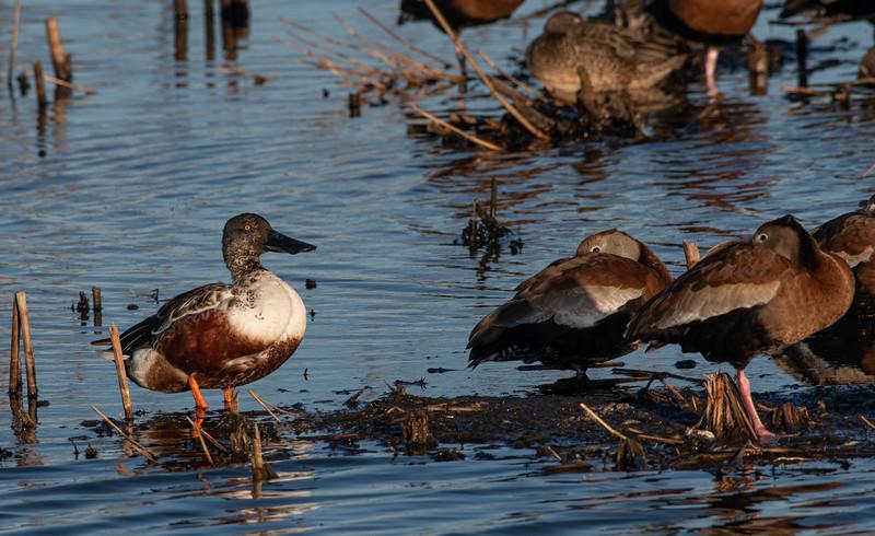 Northern Shoveler & Black-bellied Whistling Ducks