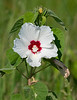 Halberd-leaved Rose Mallow