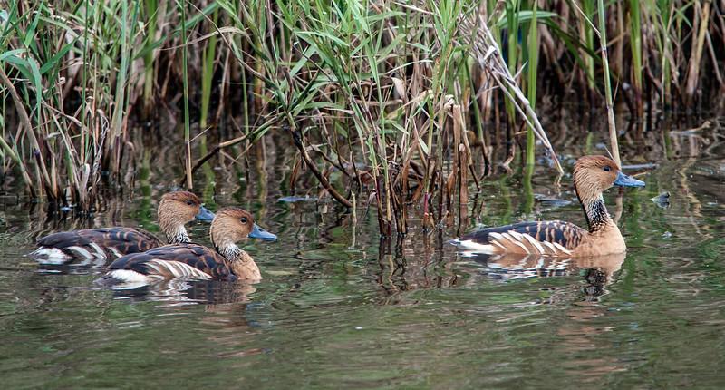 Fulvous Whistling Ducks